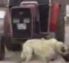 Cool Links - World's Strongest Dog Pulls Tractor
