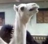 Funny Links - Ticklish Camel