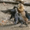 Funny Animals - Attack of the Birdies