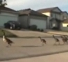 Funny Links - Geese March Down Street