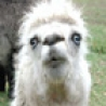 Funny Animals - Funny Looking Llamas