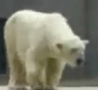Funny Links - Dancing Polar Bear