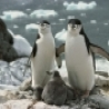 Funny Animals - Adorable Penguin Family