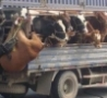 Funny Links - How To Transport Animals