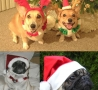 Christmas Pictures - Christmas Doggies