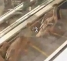 Funny Links - Ducks Stuck On Mall Escalator