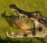 Cool Links - Gator Eating a Fish