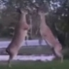 Funny Links - Deer Fight Club