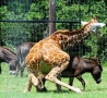 Funny Animals - Giraffe Rapes Donkey