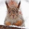Funny Animals - Squirrel In Snow