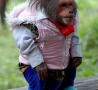 Funny Animals - Monkey with Clothes