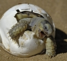 Funny Animals - Turtle Hatching