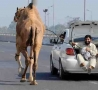 Funny Links - Walking the Camel
