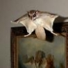 Funny Animals - Pet Flying Squirrel