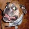 Funny Animals - Funny Looking Boxer
